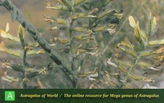 Astragalus tawilicus - Photo by Assadi