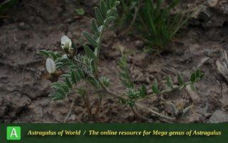 Astragalus tribuloides 2 - Photo by Bidar