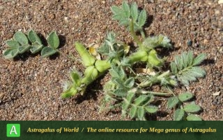 Astragalus tribuloides 3 - Photo by Taherian