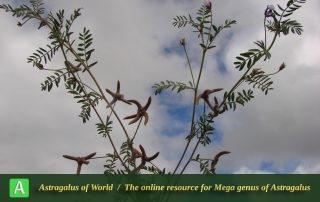 Astragalus tribuloides 5 - Photo by Mozaffarian
