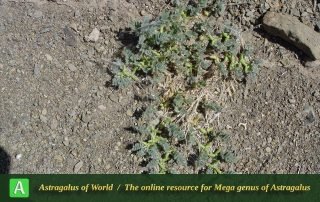 Astragalus tribuloides 6 - Photo by Joharchi