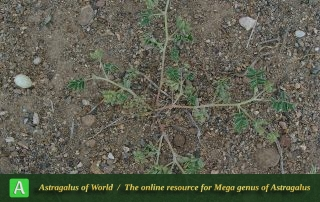 Astragalus tribuloides - Photo by Maassoumi
