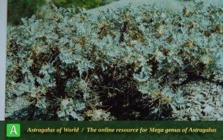 Astragalus turkmenorum