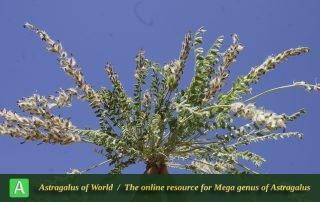 Astragalus typhaeformis - Photo by Mozaffarian