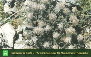 Astragalus uraniolimneus - Photo by Ghahremani nejad