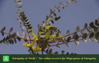 Astragalus urbanus 3 - Photo by Mozaffarian