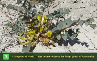 Astragalus urbanus 4 - Photo by Maassoumi