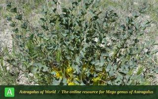Astragalus urbanus 5 - Photo by Maassoumi