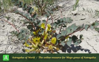 Astragalus urbanus - Photo by Maassoumi