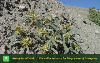 Astragalus vanillae - Photo by Mozaffarian