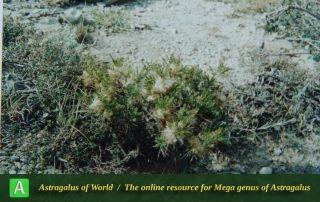 Astragalus vedicus 2