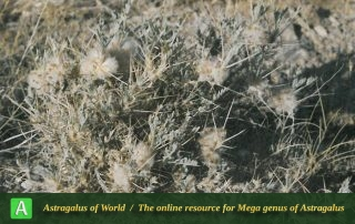 Astragalus vedicus - Photo by Maassoumi