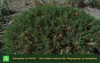 Astragalus verus 2 - Photo by Maassoumi