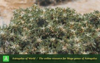 Astragalus verus 3 - Photo by Maassoumi