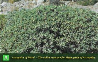 Astragalus verus 4 - Photo by Maassoumi