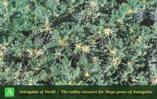 Astragalus verus - Photo by Maassoumi