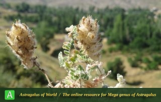 Astragalus wagneri 2 - Photo by Bidar