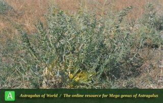 Astragalus zagrosicus - Photo by Maassoumi
