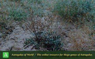 Astragalus zanjanensis - Photo by Maassoumi
