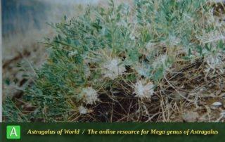 Astragalus amblolepis 2