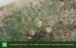 Astragalus amblolepis 3 - Photo by Maassoumi