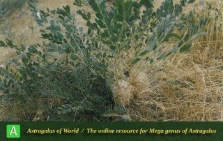 Astragalus amblolepis - Photo by Maassoumi