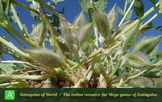 Astragalus angustiflorus - Photo by Mozaffarian