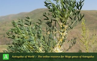 Astragalus cf. trachyacanthos 2 - Photo by Bidar