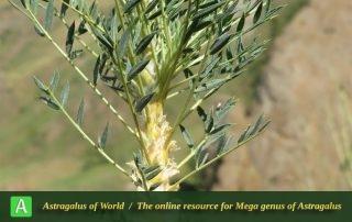 Astragalus cf. trachyacanthos 3 - Photo by Bidar