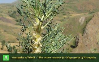 Astragalus cf. trachyacanthos 4 - Photo by Bidar