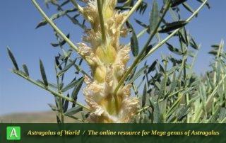 Astragalus cf. trachyacanthos 5 - Photo by Bidar