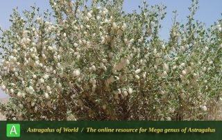 Astragalus fasciculifolius 2 - Photo by Mozaffarian