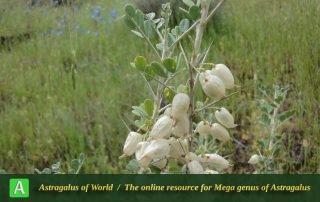 Astragalus fasciculifolius 3 - Photo by Dinarvand