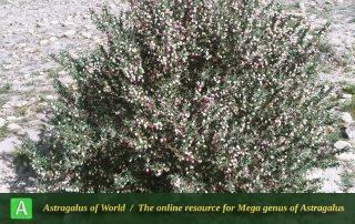 Astragalus fasciculifolius 4 - Photo by Eftekhar