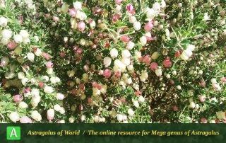 Astragalus fasciculifolius - Photo by Eftekhar