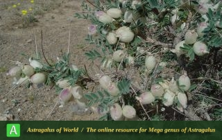 Astragalus glaucacanthos 2 - Photo by Maassoumi