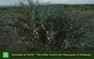 Astragalus glaucacanthos 3 - Photo by Maassoumi