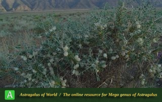 Astragalus glaucacanthos 4 - Photo by Maassoumi