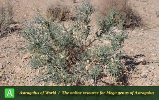 Astragalus glaucacanthos 5 - Photo by Taherian