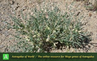 Astragalus glaucacanthos 6 - Photo by Taherian