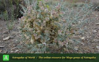 Astragalus glaucacanthos 7 - Photo by Batooli