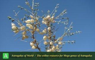 Astragalus glaucacanthos 8 - Photo Batooli