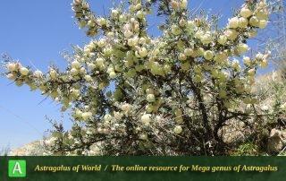 Astragalus glaucacanthos 9 - Photo Mozaffarian