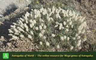 Astragalus hakkianus