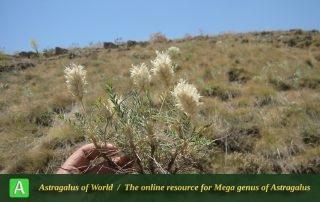 Astragalus hakkianus 2