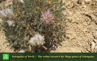 Astragalus hirticalyx 2