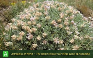 Astragalus hirticalyx 3
