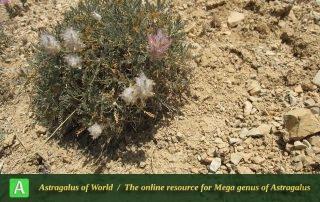 Astragalus hirticalyx