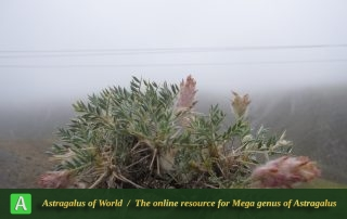 Astragalus hirticalyx 4