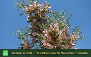 Astragalus sclerocladus